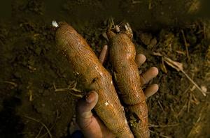 Esta es la Yuca, ingrediente de la cerveza Impala de Mozambique